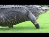 Гигантский аллигатор