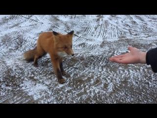 Volcano_fox_2016