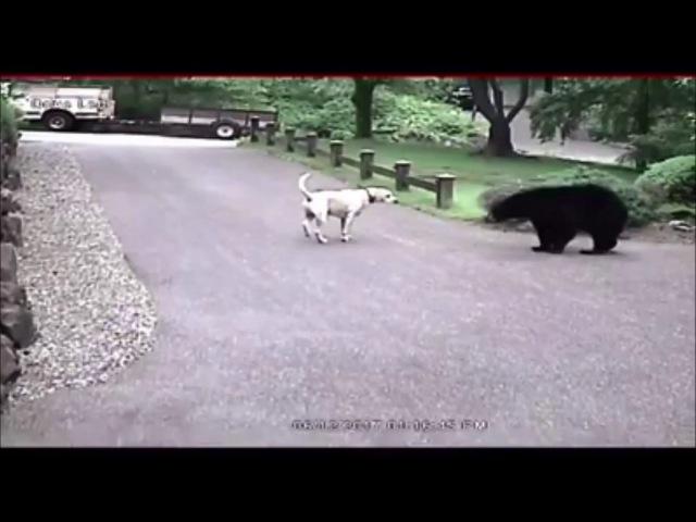 Собака отогнала медведя от дома в американском городе. Наружные видеокамеры зафиксировали момент противостояния между псом и медведем. / О собаке, человеке, и не только...