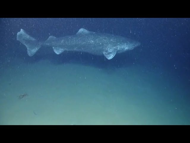 Greenland Shark – world's longest-lived vertebrate known (Somniosus microcephalus)