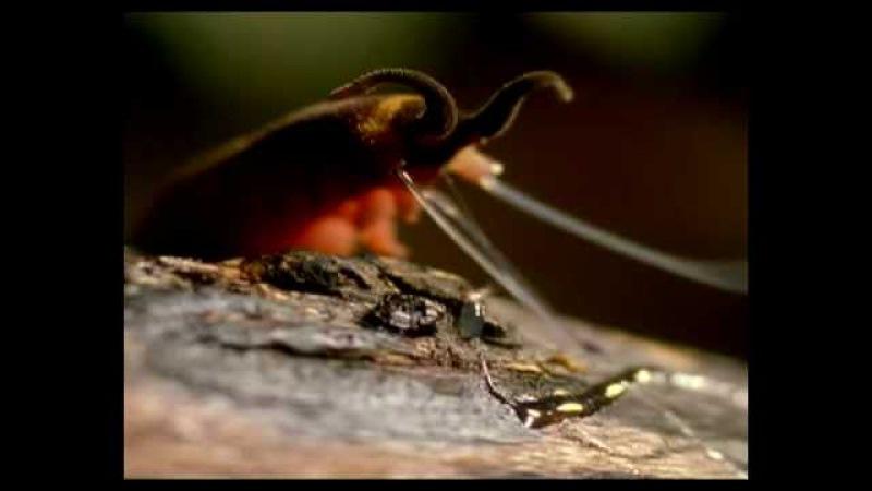 Onicoforo cazando luciernagas - Velvet worm vs beatle