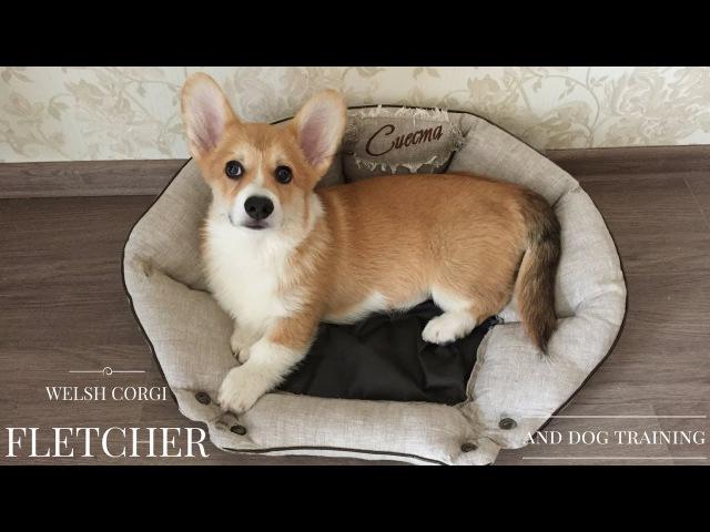 ВЕЛЬШ КОРГИ ПЕМБРОК дрессировка щенка первый раз дал лапу PEMBROKE WELSH CORGI