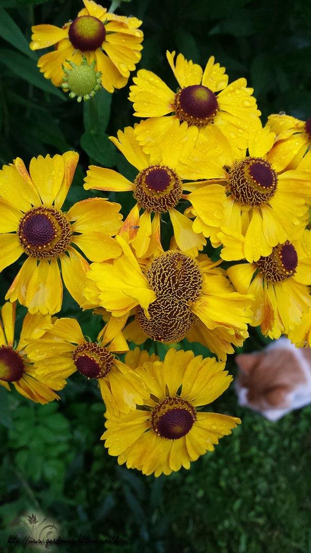 Цветы в саду - лучшее фото, сезон 2016 года-гелениум