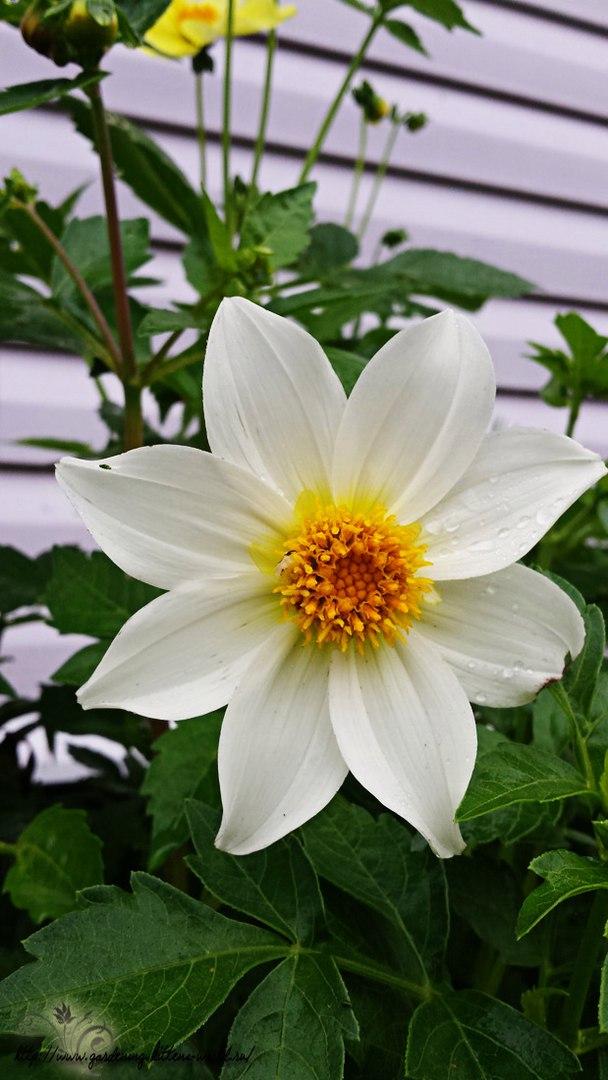 Цветы в саду - лучшее фото, сезон 2016 года-георгина однолетняя