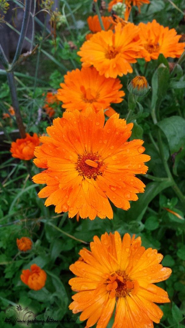 Цветы в саду - лучшее фото, сезон 2016 года-календула