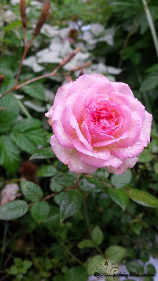 Цветы в саду - лучшее фото, сезон 2016 года-роза миниатюрная