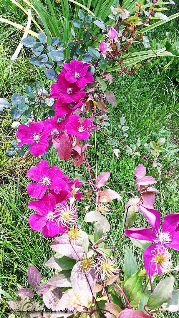 Цветы в саду - лучшее фото, сезон 2016 года-клематис