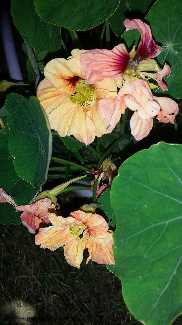 Цветы в саду - лучшее фото, сезон 2016 года-настурция