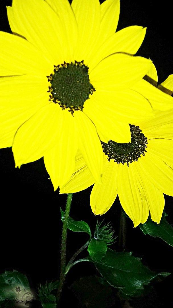 Цветы в саду - лучшее фото, сезон 2016 года-подсолнух декоративный