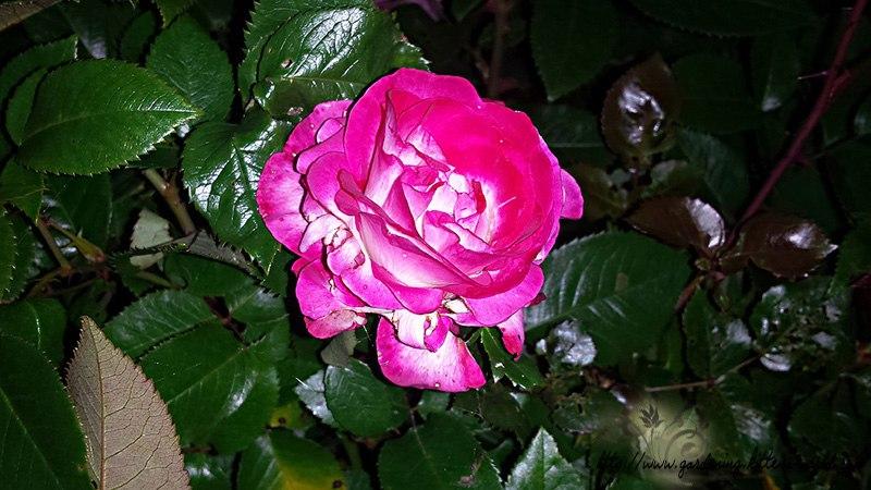Цветы в саду - лучшее фото, сезон 2016 года-роза чайно-гибридная