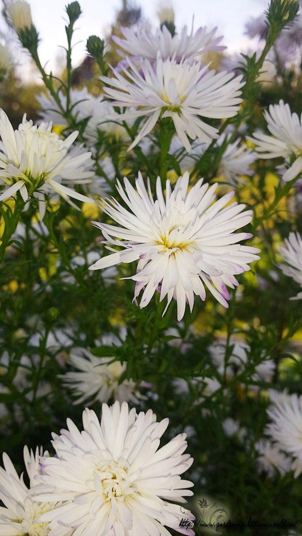 Цветы в саду - лучшее фото, сезон 2016 года-астры многолетние белые