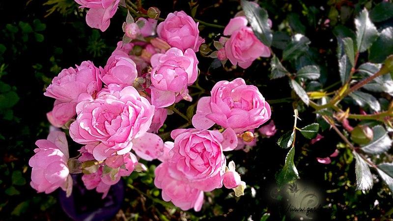 Цветы в саду - лучшее фото, сезон 2016 года-розы полиантовые
