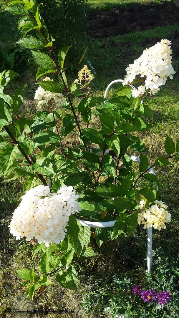 Цветы в саду - лучшее фото, сезон 2016 года-гортензия метельчатая