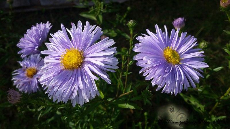 Цветы в саду - лучшее фото, сезон 2016 года-астры или сентябринки