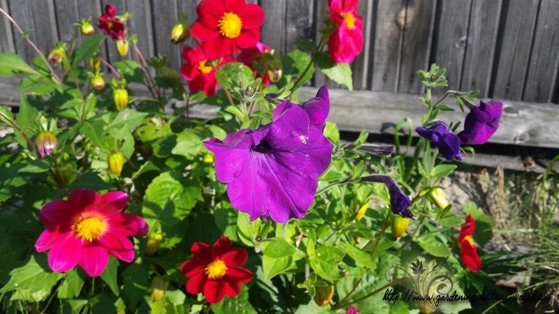 Цветы в саду - лучшее фото, сезон 2016 года-георгина Фигаро и петуния самосев
