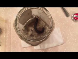 Как напугать сколопендру (6 sec)
