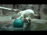 Polar bear Nora has a ball