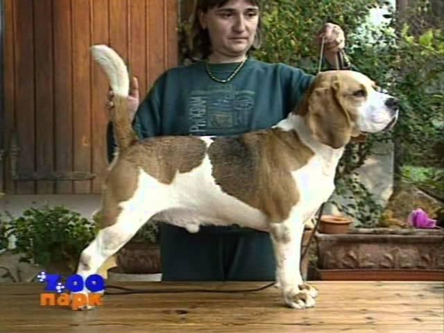 Породы собак. Бигль