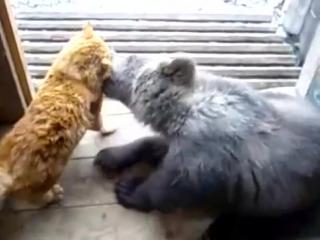 Рыжий кот надавал лещей медведю..!!