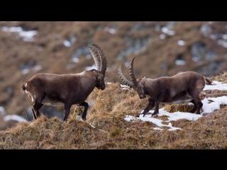 Beautiful_Mountain_Alps__Wild_Goats_Fighting
