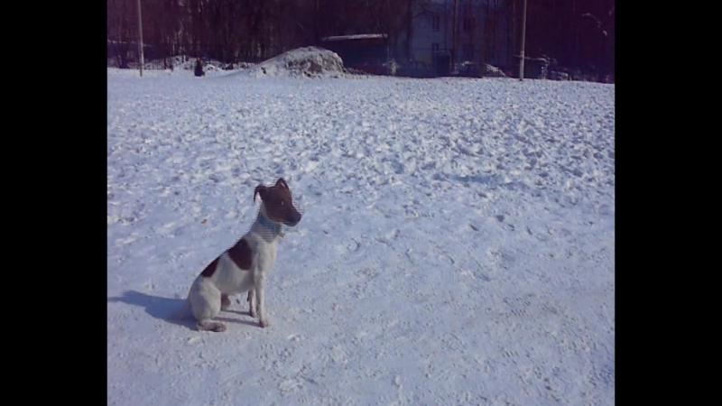 Поэтому курс дрессировки джек рассел терьера следует начать в наиболее раннем возрасте собаки.