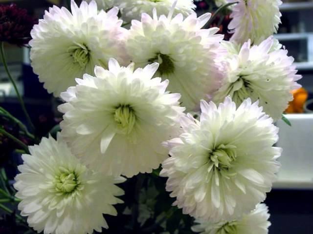 Отцвели уж давно хризантемы в саду