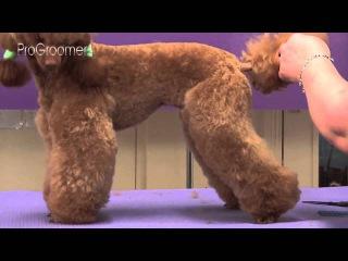 Miniature Poodle Lamb Trim Grooming Guide - Pro Groomer