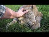 Max Canada Lynx - I'm a Big Baby 2