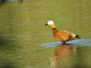 Ruddy shelduck Огарь Tadorna ferruginea