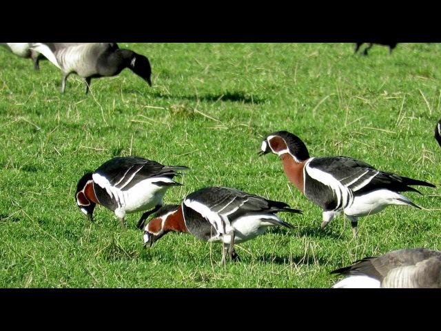 Red-breasted goose / Краснозобая казарка / Branta ruficollis