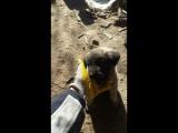 yeni Sivas kangal köpeğim:)