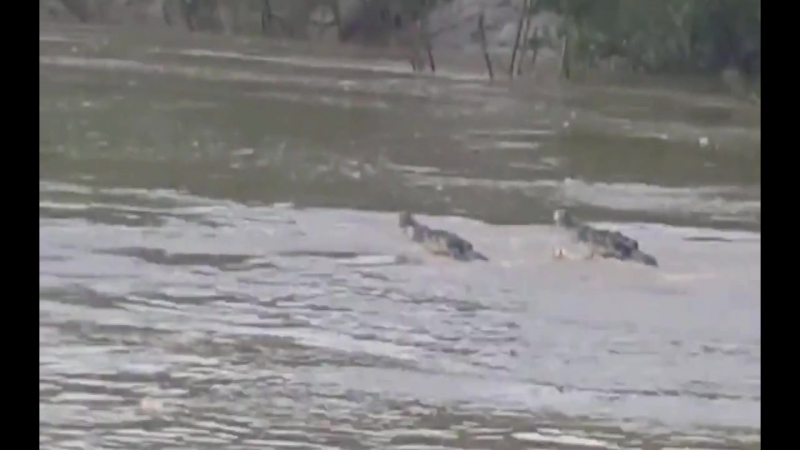 Гребнистые крокодилы-самцы дерутся за тушу буйвола (Male saltwater crocodiles fight over buffalo)