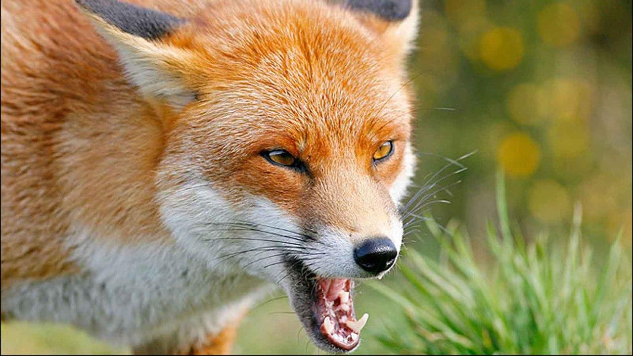 Ветеринарные врачи Ростовской области выявили бешенство у бродячего пса и молодого лиса