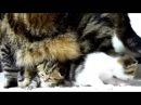 Мама Кошка разговаривает с котенком