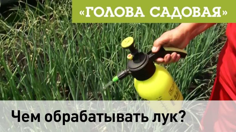 Голова садовая Чем обрабатывать лук