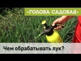 Голова садовая - Чем обрабатывать лук