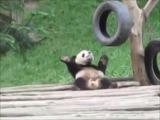 Designer panda. #coub, #коуб