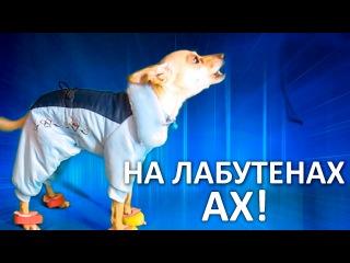 Суперклип! Собака поёт