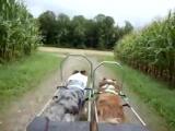 Viperdogs Dog-Cart Team (Dakota Jake - Training August 2012)