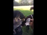 Пес-пастух из Австралии, который принял живую корову за аппетитный стейк!