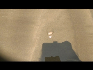маллюск прячется в песок.