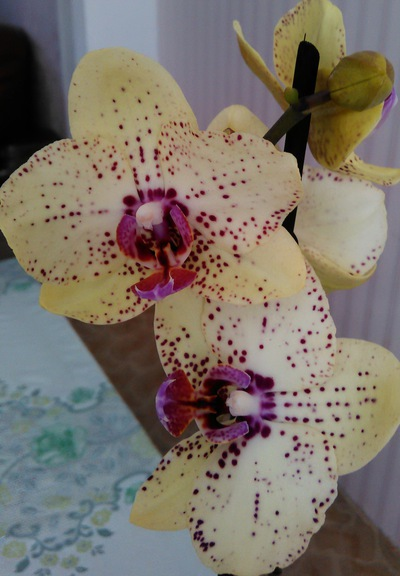 Орхидеи Крым