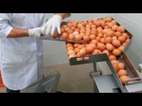 Manufacturing Process Egg Breaking and Separating. Extreme Machines