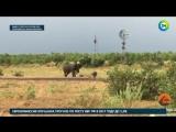Детеныш буйвола прогнал огромного слона