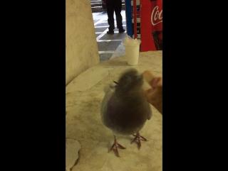Суровый челябинский плотоядный голубь