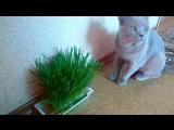 Вырастили ОВЕС для котика ??. Сегодня уже полакомился ?. Пугачев, 28 июля 2016 год