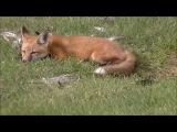 The Baby Fox Kits 1