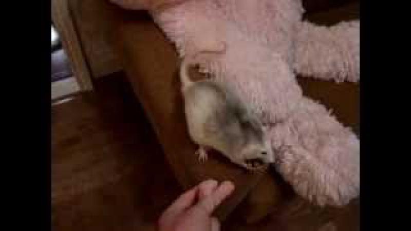 Крыса выполняет команды с 2 месячного возраста