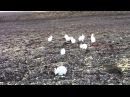 The Arctic Bunny Herder/Whisperer