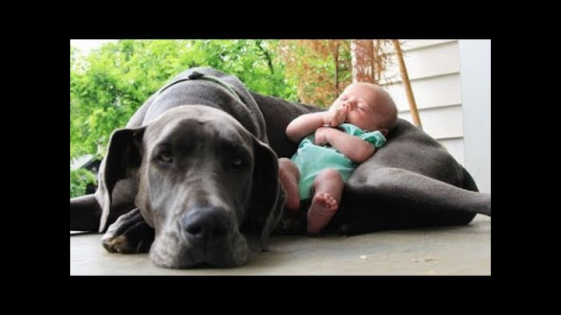 Quand les chiens protègent des bébés